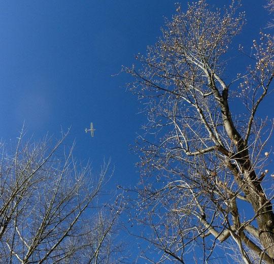 1月18日(2013) ユリノキと飛行機(野川公園の空)