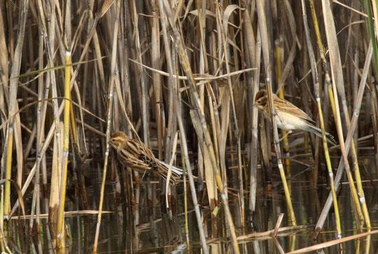 ●葦(ヨシ)の中にひそむオオジュリンが2羽(武蔵野の森公園で撮影)