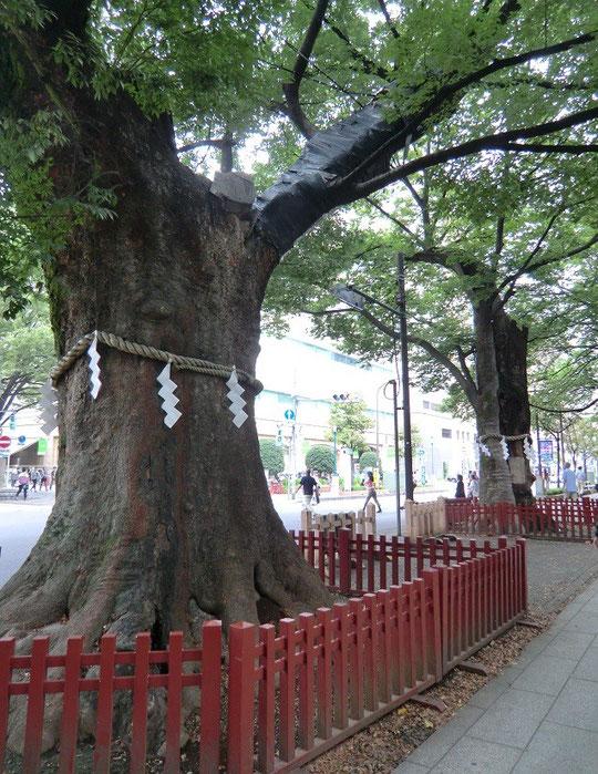 9月9日(2014) 御神木(大ケヤキ):大國魂神社の入り口、大鳥居の近くに立っているケヤキ。樹齢900年と云う