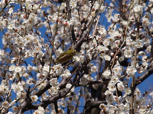 2月14日(2016) 梅咲いてメジロ喜ぶ:満開の梅の木で蜜を吸うメジロ(2月11日、小金井市の「はけの森緑地2」にて