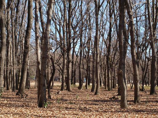 12月27日(2017)雑木林の冬:武蔵野の原風景とも言えるコナラやクヌギの雑木林。すっかり葉が落ちて空が広がり、冬景色になりました。都立野川公園にて。