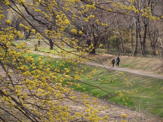3月11日(2018) 早春の野川遊歩道:桜にはまだ早いこの時季、野川遊歩道ではサンシュユの黄色い花が春を告げていました。中国が原産のサンシュユの日本名は春黄金花(ハルコガネバナ)です。くぬぎ橋の近くで
