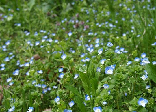 3月23日(2016) 小さい花の群れ:オオイヌノフグリ:オオバコ科クワガタソウ属の越年草、別名を「星の瞳」ともいいます(調布市野草園近くの崖線の下にて)