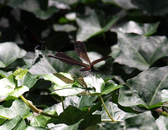 6月20日(2015)羽を開いたハグロトンボ:開いた羽がプロペラのように見えました。野川公園にて