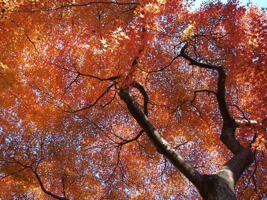 ●園内は紅葉の真っ盛りでした!紅葉は12月初めまで楽しめそうです