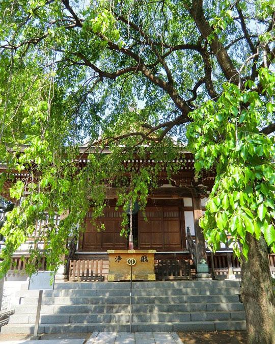 4月24日(2014) 青葉の枝垂桜:金蔵院にて(小金井市)