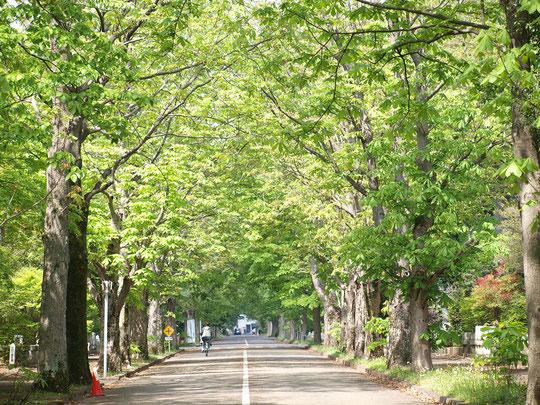 ●ラリーポイントGの多磨霊園で出会った鮮やかな新緑の景色。西2号通りにあるトチノキの並木(トチノキ通り)です。4月20日