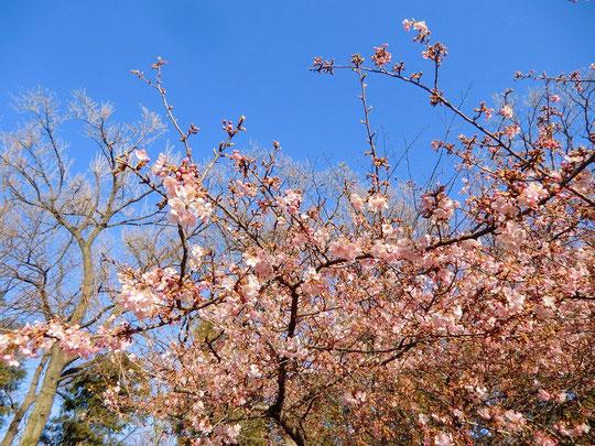 ●早咲きの河津桜(カワヅザクラ)でした。春は確実にやって来ているのですね!