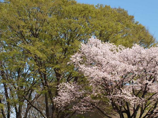 ●サクラと若葉:ラリーポイントAの都立小金井公園で出会った景色です。急に暖かくなり、サクラとケヤキの若葉がいっしょに見れました。3月30日に撮影