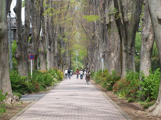 ●井の頭公園に向う途中に通ったケヤキ並木(成蹊大学の横)。気持ちの良い道です。