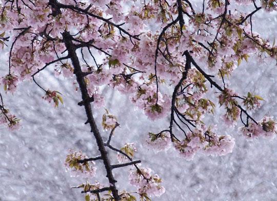 4月21日(2015) ウグイスのさえずり:三鷹市在住の武田さんからのご投稿写真、さえずりの前後の写真もあります。投稿の頁をご覧ください