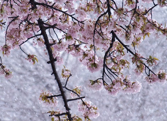 3月29日(2020) 春の雪:陽光にかがやく桜ももちろん綺麗ですが、季節はずれの雪にじっと耐えている桜の姿も美しいものです。人間もじっと耐えてこの難局を乗り越えましょう。