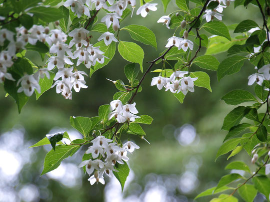 ●5月22日(2020)エゴの花:名前(エゴノキ)に見合わず謙虚に下向きに咲く可憐な花。花の後に姿を見せる実も球形で可愛いです。