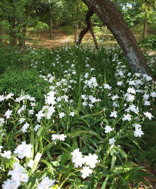 4月18日(2013) 木陰の花、シャガ(浅間山公園の側道から:府中市)