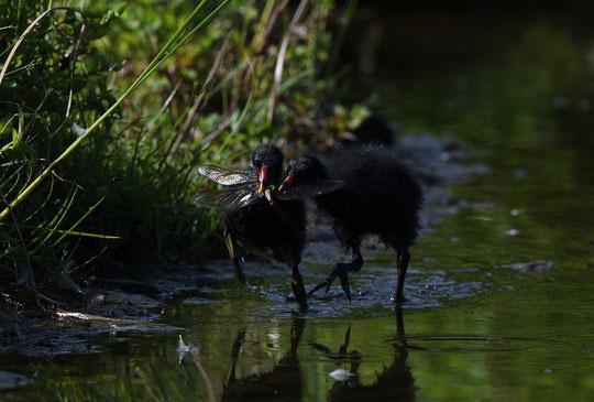 ●田んぼの番(バン)をする鳥というのが名前の由来らしいです