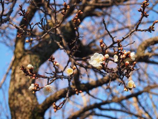 12月28日(2014)早咲きの梅:年明けを待たずに咲き始めた梅の花(府中市の東郷寺にて)
