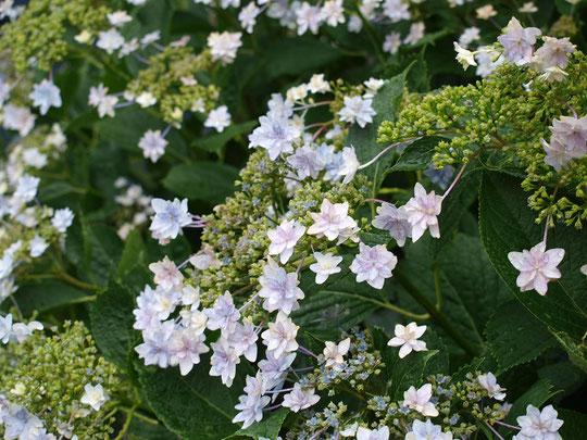6月10日(2016) 街角の花、墨田の花火:アジサイにもいろいろな品種があって、多分、スミダノハナビと思われます。6月7日、小金井市の住宅街にて