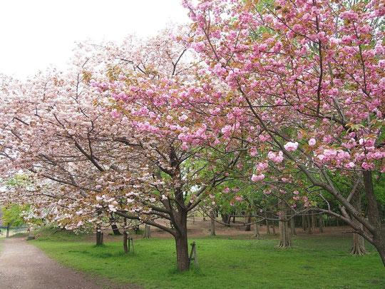 4月17日(2015)まだまだ桜:関山(カンザン)や一葉(イチヨウ)、普賢象(フゲンゾウ)など遅咲きのサクラが咲いていました。4月16日、武蔵野公園のくじら山の近くにて