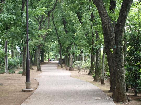 5月26日(2016) 遊歩道の公園 武蔵野市立本村公園:中央線の武蔵境駅から境浄水場までの資材運搬用の鉄道引込線跡を利用したもの。約500m、道の両側にクヌギやコナラの樹木が続いている場所