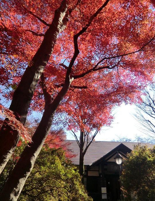 12月4日(2013) モミジと浴恩館(小金井市文化財センター)