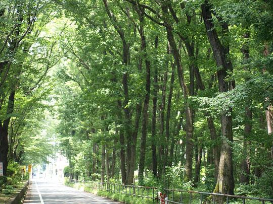 7月16日(2016) 雑木林の道:7月14日、小平市の玉川上水の近くで。みどりを育て、小鳥が来るまちづくりをめざしている小平市の保存樹林