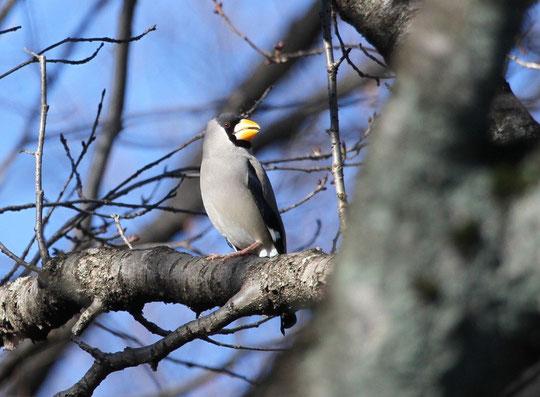 ●イカルの出現(イカル:スズメ目、アトリ科の鳥、全長23cm。大きな太い黄色の嘴が特徴で、堅い木の実などを砕いて食べる)1月3日に武蔵野公園で撮影