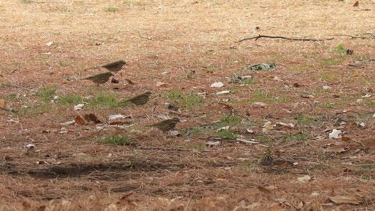 ●ビンズイが5羽。1羽はカメラ目線となっております。