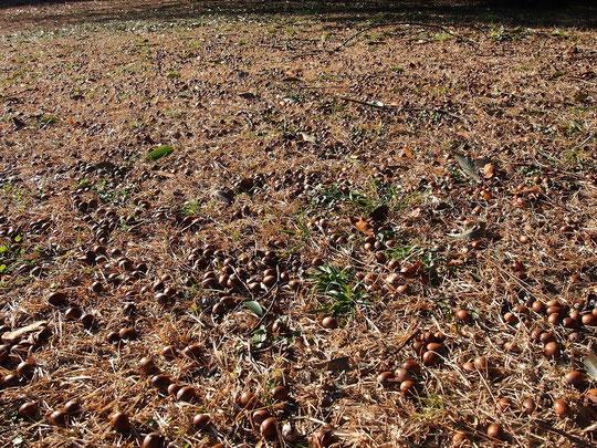 12月25日(2015) どんぐりの群集:野川公園のアラカシの木の近くで