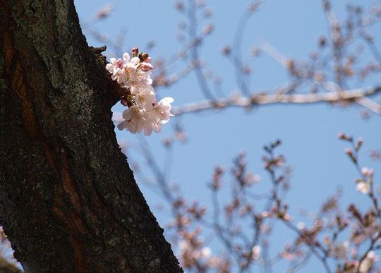 3月22日(2016) 桜の開花:野川遊歩道の桜並木(調布市)にて