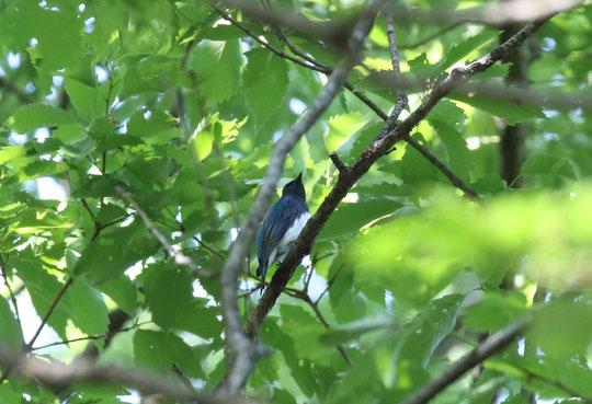 ●オオルリです。こちらは木の枝に止まり、さえずっているところですね。