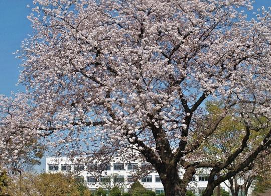 ●サクラと校舎:ラリーポイントPの都立武蔵野中央公園で出会った景色です。3月30日に撮影