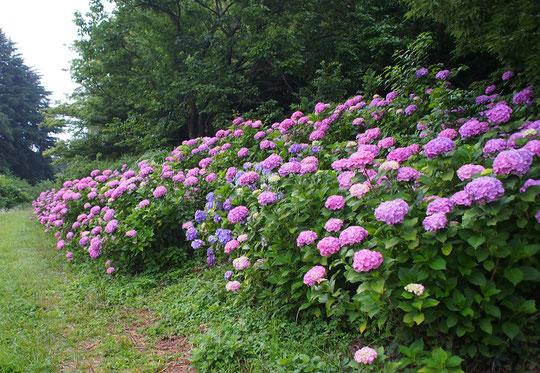 6月21日(2020) 紫陽花の群生:雨が似合う花、アジサイ。雨が上がった日の朝、ピンクやブルーの鮮やかな花々に出逢いました。野川遊歩道の泉橋の近くにて
