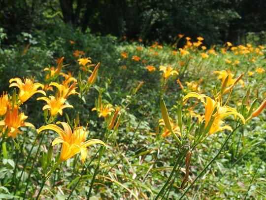 7月15日(2017) 一期一会のノカンゾウ:ノカンゾウはユリ科ワスレグサ属の一日花。ひとつの茎からいくつもの花が次々と咲くので、継続して咲いているように見えます。野川公園・自然観察園にて