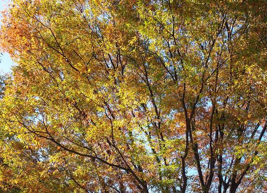 11月7日(2017)ケヤキの紅葉:大きな欅(ケヤキ)の木が午後の陽射しを浴びて赤や黄色に輝いていました。府中市の郷土の森公園にて