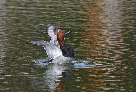 ●羽を広げるホシハジロ。ホシハジロは潜水も得意らしいです。