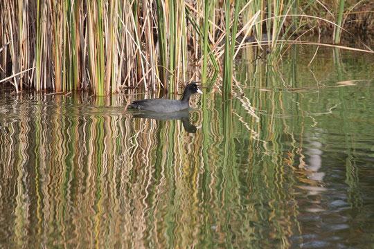 ●オオバン:ツル目クイナ科オオバン属、全長約40cm、頭部が白いのが特徴(武蔵野の森公園・修景池にて)