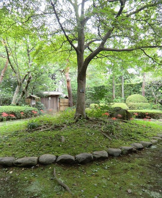 9月26日(2013) 三楽の森(小金井市)入り口門前に立つ「ノムラモミジ」