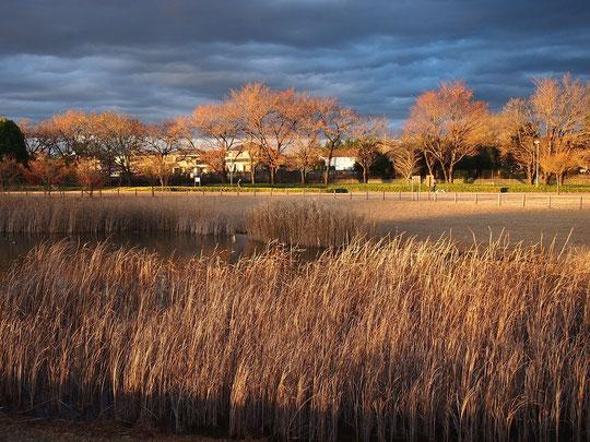 12月12日 葦(アシ)を照らす夕陽:12月11日、武蔵野の森公園にて