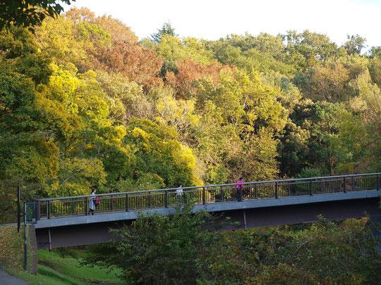 11月20日(2019)色づきはじめた木々:野川にかかる櫟(くぬぎ)橋の向こうに見えるのは国分寺崖線の木々です。まるで森のようですが、この辺りもようやく色づいてきました。野川公園の遊歩道から