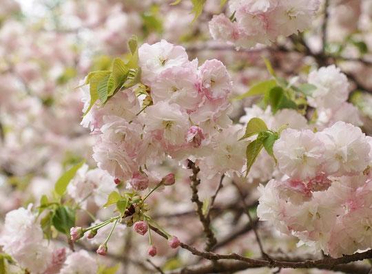 ●ショウゲツ(松月):八重。サトザクラの代表品種、最初淡桃色の花が次第に白色になる美しいサクラ。