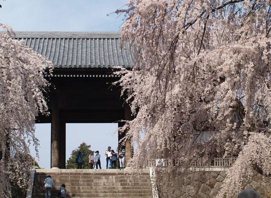 ●東郷寺(府中市)の枝垂桜。東郷寺の山門は、黒澤明監督の映画「羅生門」のモデルになったものと言われています。3月27日に撮影