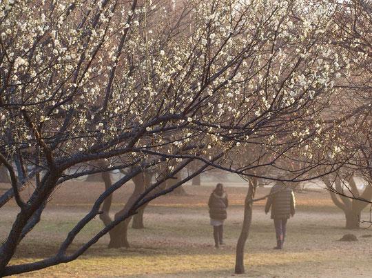 1月31日(2016) 朝もやの梅林:早朝の野川公園の梅林にて