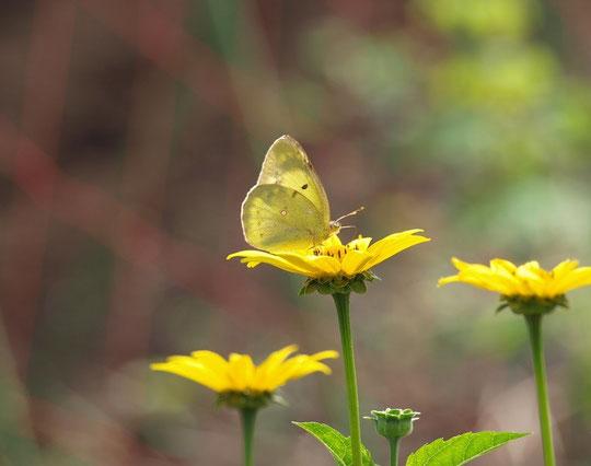 6月15日(2015) モンキチョウと黄色い花:黄色い花は、菊芋擬(キクイモモドキ)と思われる(府中市の畑の側道で)