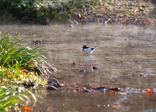 1月7日(2017) 湧き水に鳥が一羽:冬の朝、国分寺崖線(はけ)から湧き出す水の流れに、セグロセキレイが佇んでいました。外気より水温が高いので、湯気があがっているように見えます。野川公園・湧き水広場にて