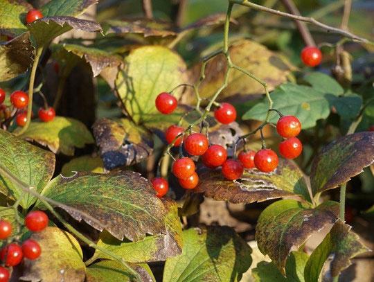 12月8日(2015) 小さな赤い実:ヒヨドリジョウゴ。12月5日、野川公園・自然観察園にて