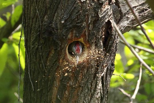 ●4月中旬、工事進行中。穴が大きくなりました。木くずが飛んでいるところがリアルです。