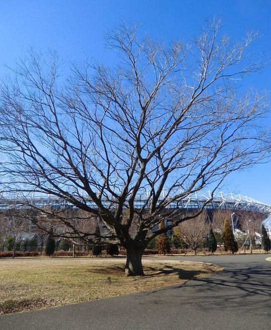 1月19日(2014) 榎(エノキ)と味の素スタジアム(武蔵野の森公園)榎(エノキ):ニレ科の落葉高木。枝が多いことから、枝の木(エノキ)と呼ばれるようになったという説もある