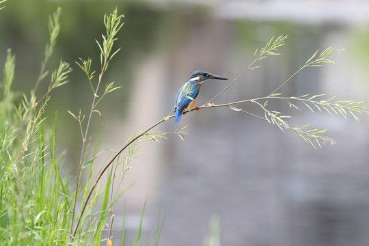 ●野川のカワセミ。小魚などの獲物をねらっているところでしょうか・・・
