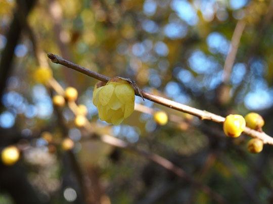 12月28日(2015) ロウバイ(蝋梅)の開花:野川公園にて