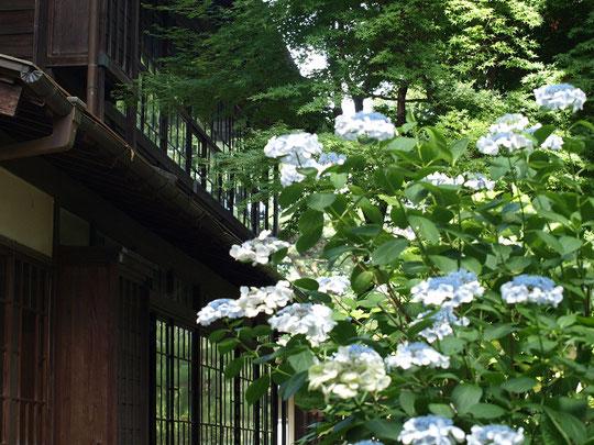 7月3日(2016) 高橋是清邸とアジサイ:7月2日、江戸東京たてもの園にて。主屋の2階が2・26事件の現場とのこと